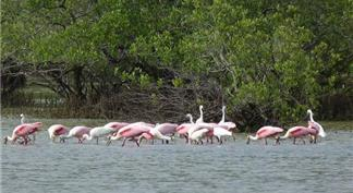 Group of flamingos in the river