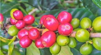 Green fruits and red ripe coffee fruits on the same coffee branch